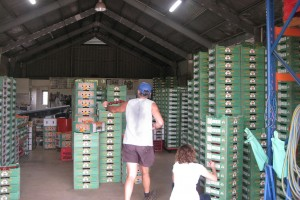 Boxes of mangoes ready to be transported to as far as Sydney and Melbourne