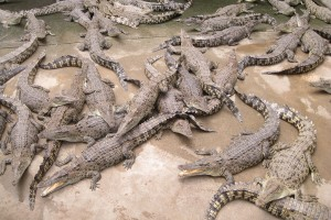 Crocodile farm visited...more crocodiles than you can count...the famous NT crocs
